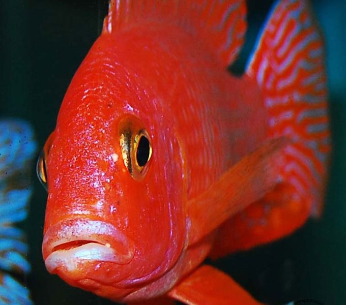 "Aulonocara ""fire fish Red Dragoon"""