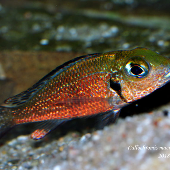 """Callochromis macrops ♂ Ndole """"Red"""""""