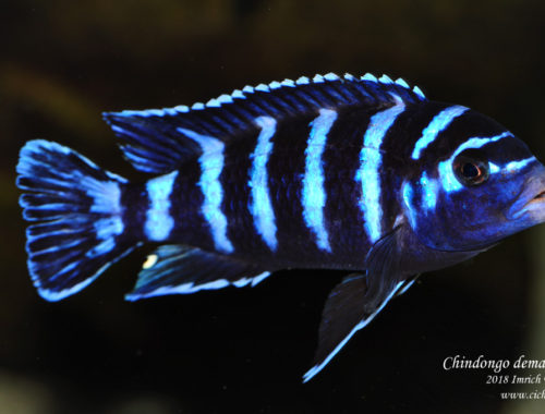 Chindongo demasoni male Pombo Rocks