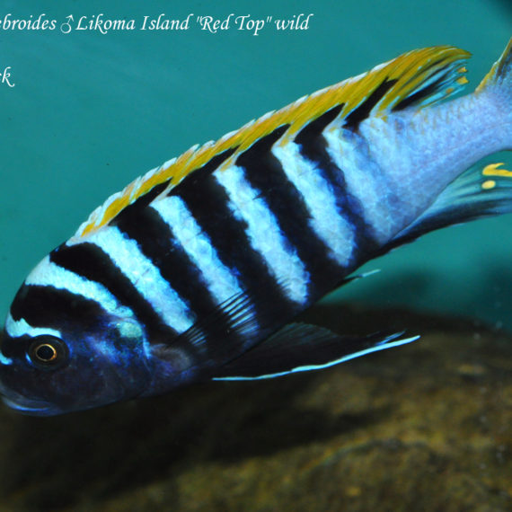 "Cynotilapia zebroides ♂ Likoma Island ""Red Top"""