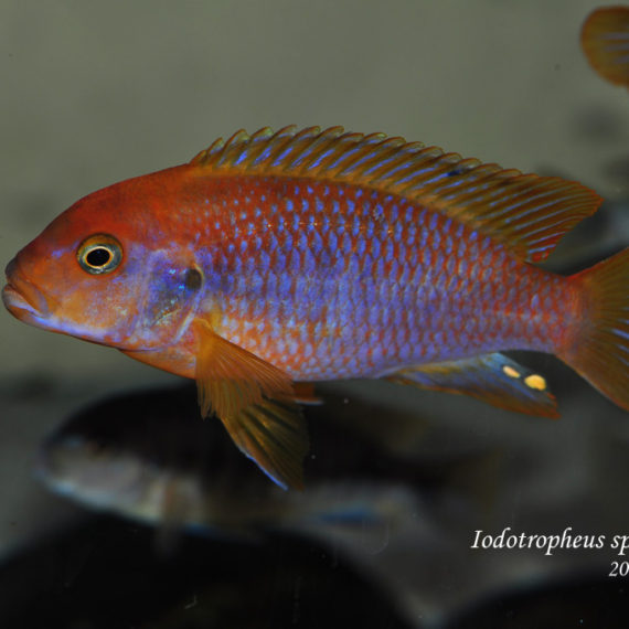"Iodotropheus sprengerae ""red"" ♂"