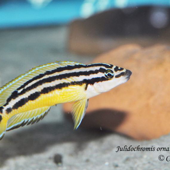 "Julidochromis ornatus ""Yellow"""