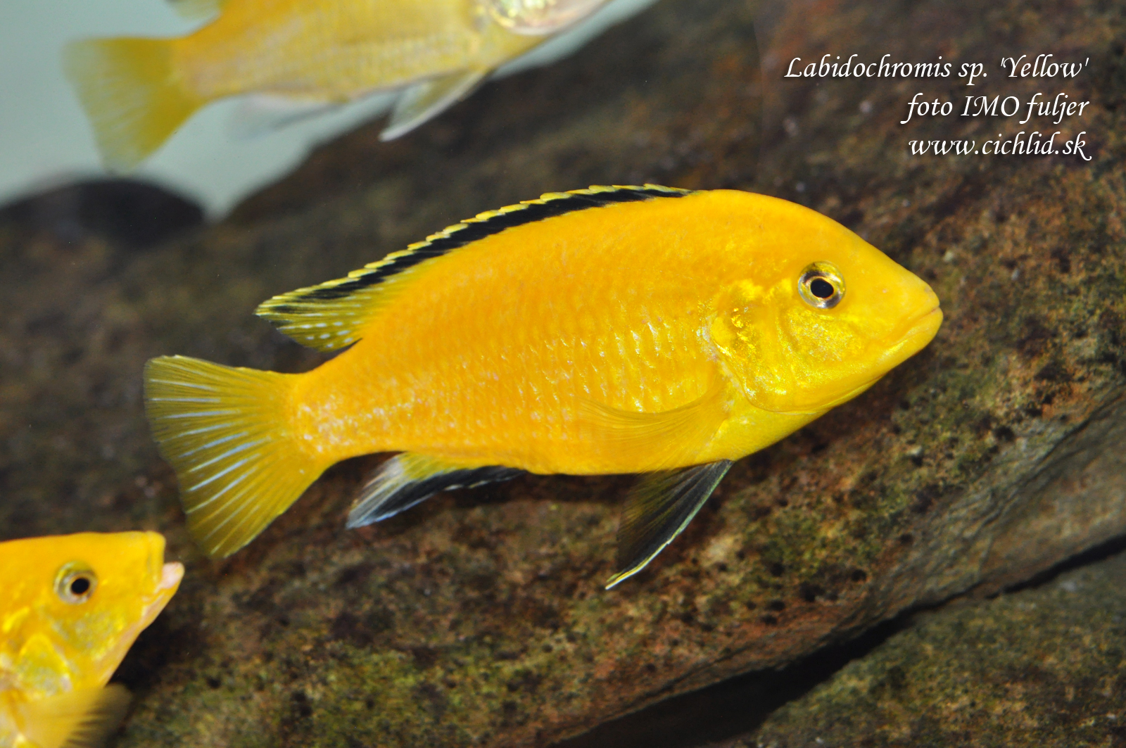 Labidochromis sp. 'Yellow'