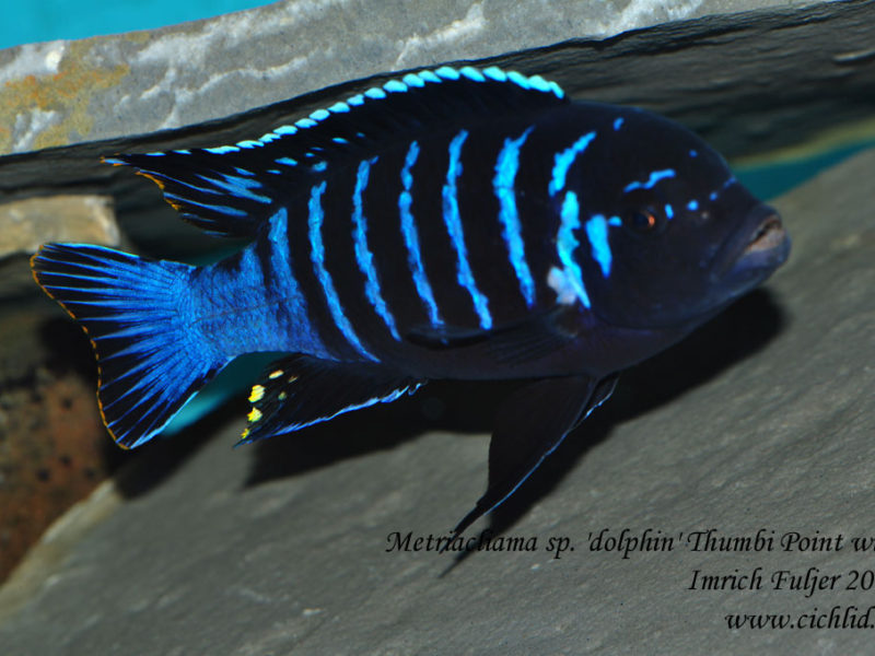Metriaclima sp. 'dolphin' ♂ Thumbi Point