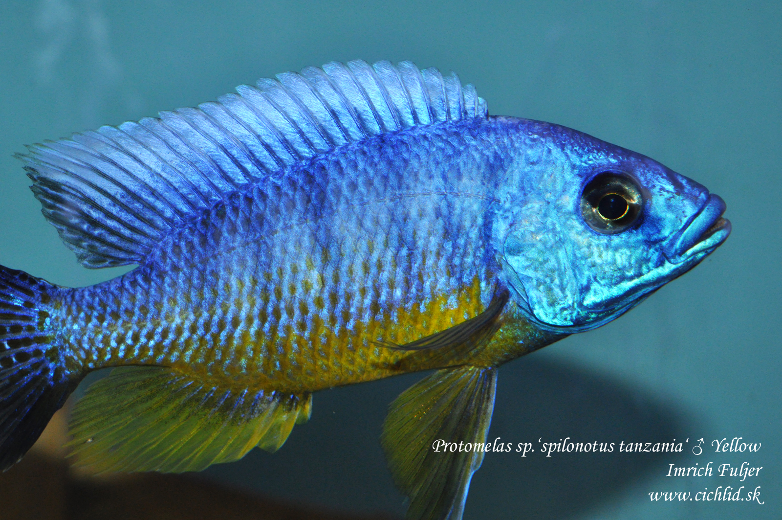 ♂ Protomelas sp.'spilonotus tanzania' Yellow