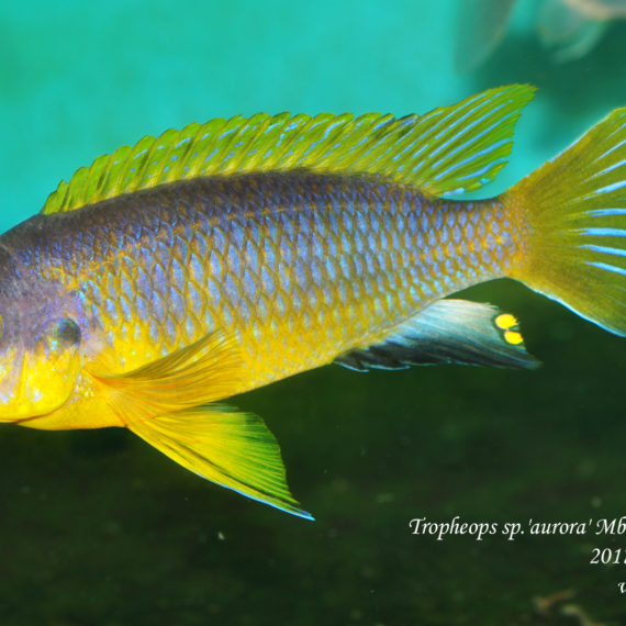 male Tropheops sp.'aurora' Mbamba Bay wild