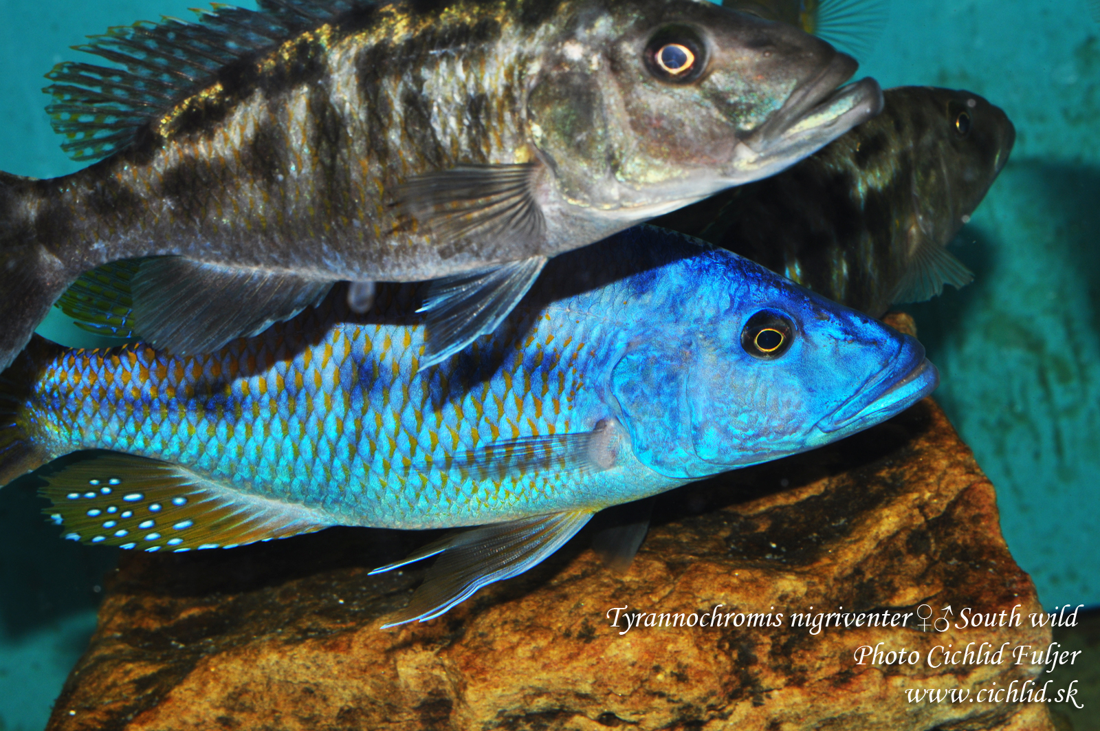 Tyrannochromis nigriventer South