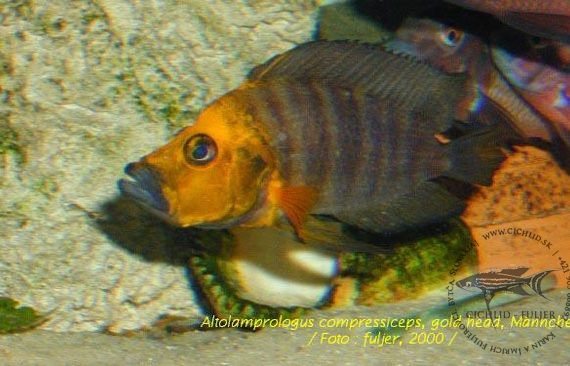 "Altolamprologus compressiceps ♂ ""Gold Head"""