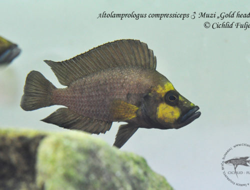 "Altolamprologus compressiceps ♂ Muzi ""Gold head"""