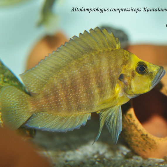 "Altolamprologus compressiceps Kantalamba ""Gold head"""