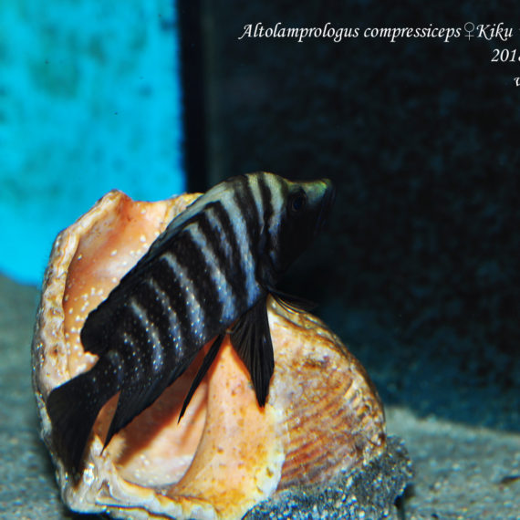 "Altolamprologus compressiceps ♀ Kiku ""Black Widow"""
