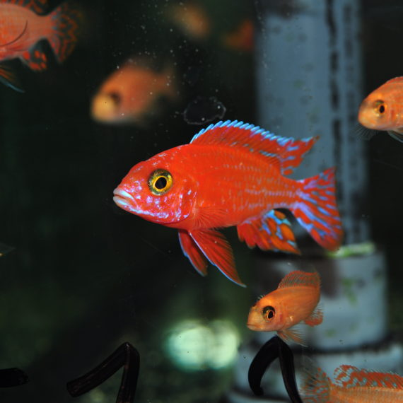 "Aulonocara fire fish ♂ ""Coral red"" 6cm"