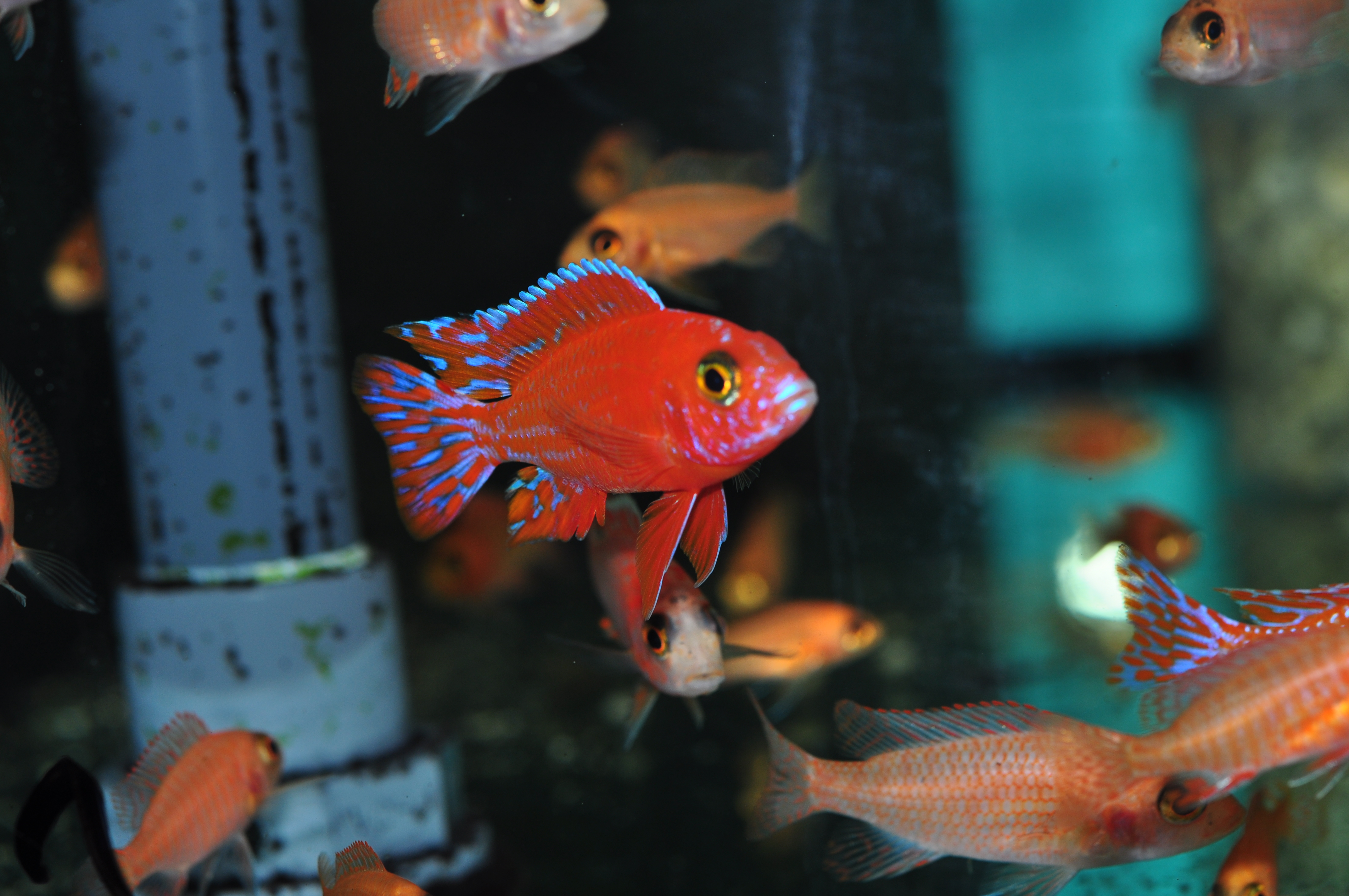 Aulonocara fire fish ♂