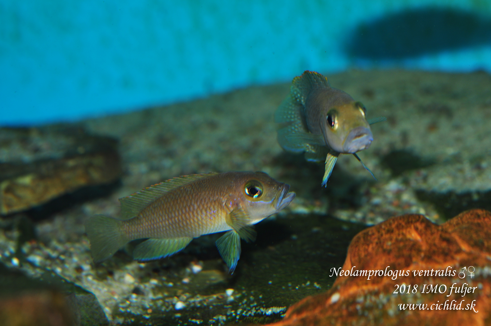 Neolamprologus ventralis ♂♀