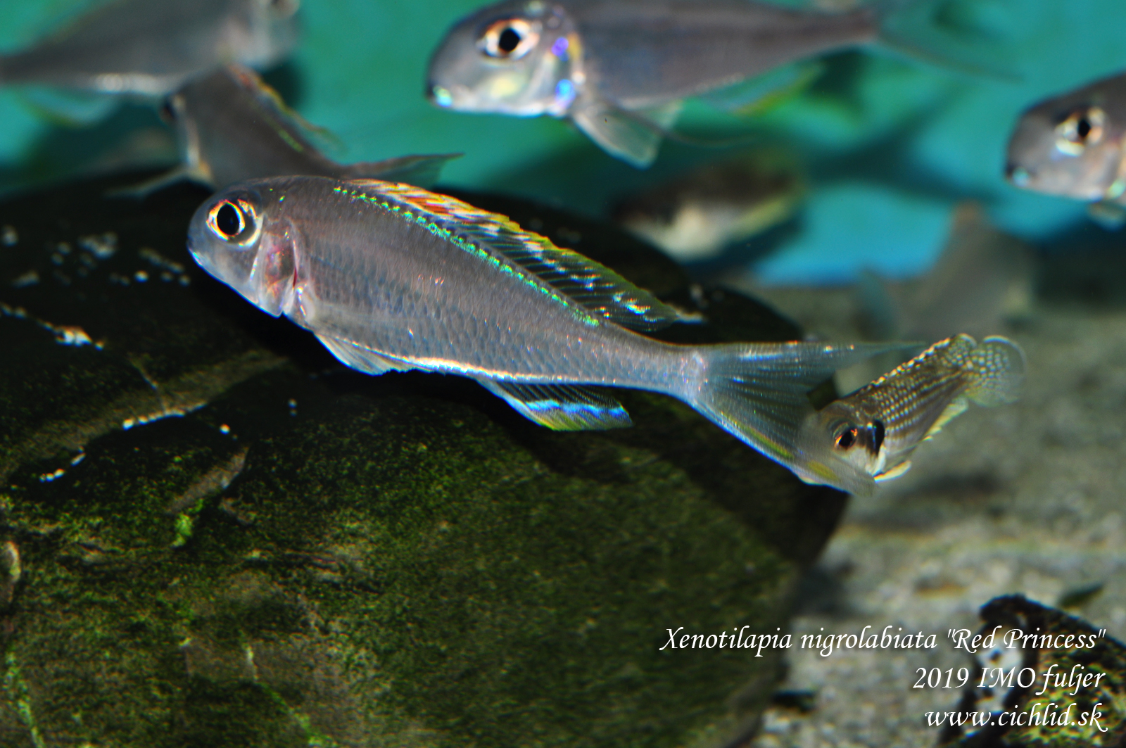 "Xenotilapia nigrolabiata ""Red Princess"""