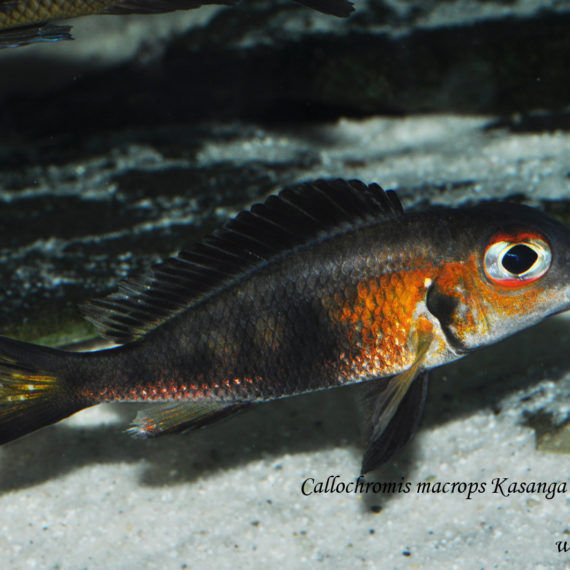 "Callochromis macrops Kasanga ""red eye"""