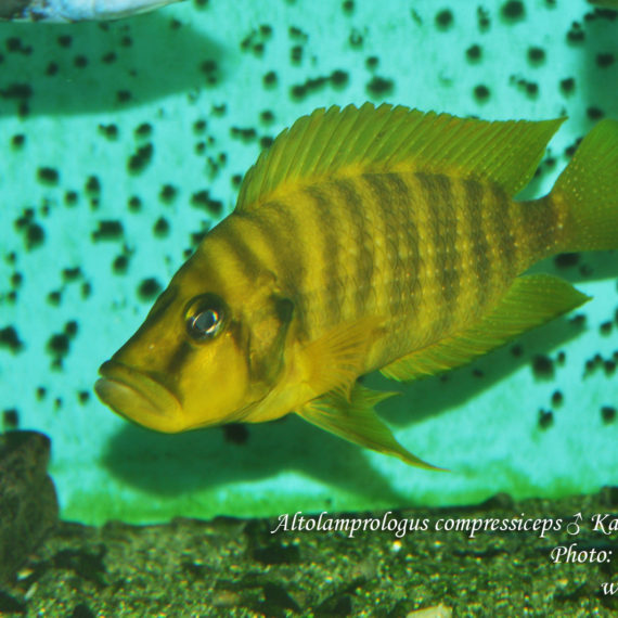 "Altolamprologus compressiceps Karago ""Yellow"""