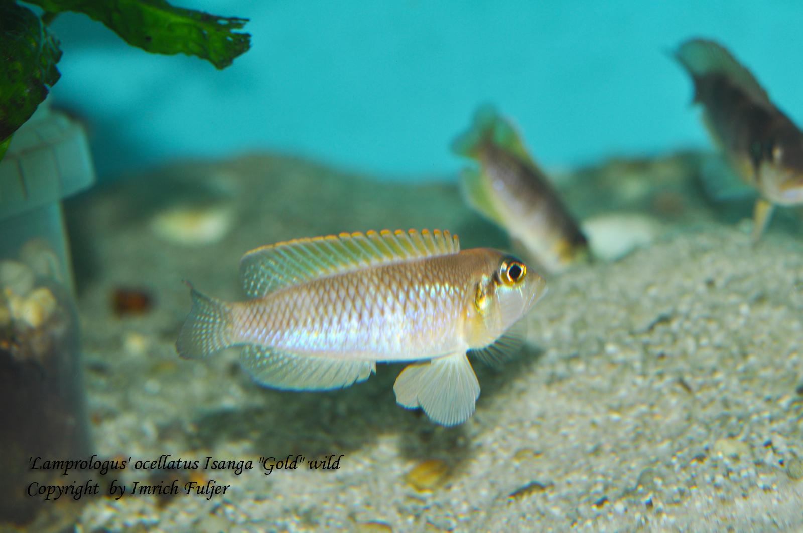 "'Lamprologus' ocellatus Isanga ""Gold"""